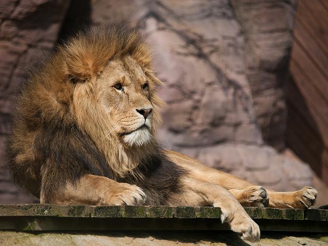 Löwe im Zoo (Sommerfest-Ideen)